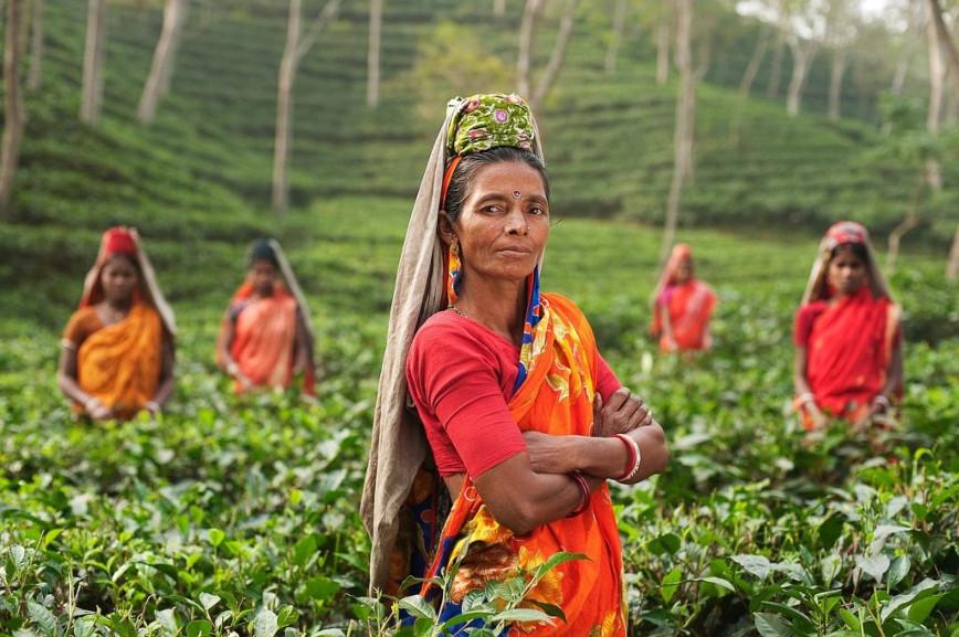 Indie zbieranie liści herbaty przez kobiety